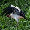 Koningsgier; Sarcoramphus papa; King vulture; Sarcoramphe roi; Königsgeier