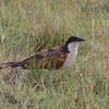 Botswana; Okavango; Copperytailed coucal; Centropus cupreicaudus; Grootvleiloerie; Coucal des papyrus; Koperstaartspoorkoekoek