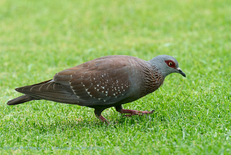 SouthAfrica; Speckled pigeon; Columba guinea; African rock pigeon; Kransduif; Guineataube; Pigeon roussard; Gespikkelde duif