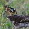 Botswana; Okavango; Crested barbet; Trachyphonus vaillantii; Kuifkophoutkapper; Barbican promépic; Kuifbaardvogel