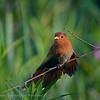 Kleine eekhoornkoekoek; Coccycua minuta; Little cuckoo; Petit Piaye