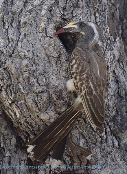 Botswana; Okavango; African grey hornbill; Tockus nasutus; Grysneushoringvoël; Grautoko; Weißschopftoko; Calao à bec noir; Grijze tok; Lophoceros nasutus