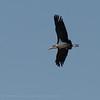 Zambië; Marabou stork; Leptoptilos crumenifer; Maraboe; Marabu; Marabout d'Afrique; Afrikaanse maraboe; Zambia