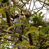 Maskertityra; Tityra semifasciata; Masked tityra; Tityre masqué