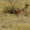 Botswana; Okavango; Southern carmine beeeater; Merops nubicoides; Rooiborsbyvreter; Guêpier carmin; Zuidelijke karmijnrode bijeneter