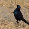 Botswana; Okavango; Meves's starling; Meves's glossystarling; Lamprotornis mevesii; Langstertglansspreeu; Mevesglanzstar; Meve's langstaartglansspreeuw
