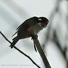 Collared Falconet; Microhierax caerulescens; Fauconnet à collier; Roodbroekdwergvalk; Chitwan National Park; Nepal