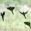 Monniksparkiet; Myiopsitta monachus; Monk parakeet; Conure veuve; Mönchssittich