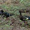 Muskuseend; Cairina moschata; Muscovy duck; Canard musqué; Moschusente