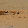 Namibië; Namaqua Sandgrouse; Namib Desert; Pterocles namaqua; Kelkiewyn; Namaquazandhoen; Ganga namaqua; NamaFlughuhn; Sossusvlei