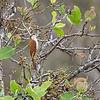 Wenkbrauwmuisspecht; Lepidocolaptes angustirostris; Narrowbilled woodcreeper