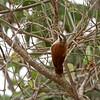 Wenkbrauwmuisspe; Wenkbrauwmuisspecht; Lepidocolaptes angustirostris; Narrowbilled woodcreeper