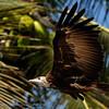 Hooded vulture; Necrosyrtes monachus; Kapgier; Vautour charognard; Senegal; Casamance; Kappengeier