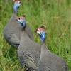 Botswana; Helmeted guineafowl; Numida meleagris; Helmperlhuhn; Pintade de Numidie; Helmparelhoen; Okavango