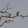 Namibië; Laughing dove; Spilopelia senegalensis; Lemoenduif; Palmtaube; Tourterelle maillée; Palmtortel; Namib Desert