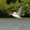 Pelecanus onocrotalus; Rosapelikan; White Pelican; Pélican blanc; Gewone Pelikaan; senegal; casamance