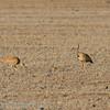 Namibië; Rüppell's korhaan; Rüppell's bustard; Namibia; Eupodotis rueppellii; Outarde de Rüppell; Rüppells trap; Woestynkorhaan; juvenile