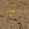 Namibië; Rüppell's korhaan; Rüppell's bustard; Namibia; Eupodotis rueppellii; Outarde de Rüppell; Rüppells trap; Woestynkorhaan