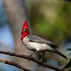Roodkuifkardinaal; Paroaria coronata; Redcrested cardinal; Paroare huppé; Graukardinal