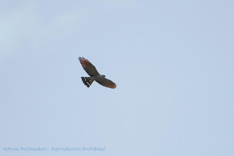 Wegbuizerd; Rupornis magnirostris; Roadside hawk; Buse à gros bec