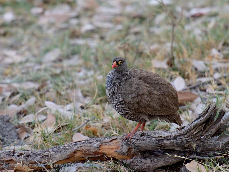 Botswana; Okavango; Redbilled spurfowl; Redbilled francolin; Pternistis adspersus; Rooibekfisant; Francolin à bec rouge; Roodsnavelfrankolijn