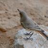 Namibië; Familiar chat; Cercomela familiaris; Gewone spekvreter; Roodstaartspekvreter; Namib Desert; Oenanthe familiaris