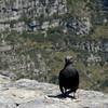 Redwinged starling; Onychognathus morio; Rooivlerkspreeu; Rotschwingenstar; Rufipenne morio; Roodvleugelspreeuw; SouthAfrica