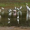 Rode lepelaar; Platalea ajaja; Roseate spoonbill; Spatule rosée; Rosalöffler