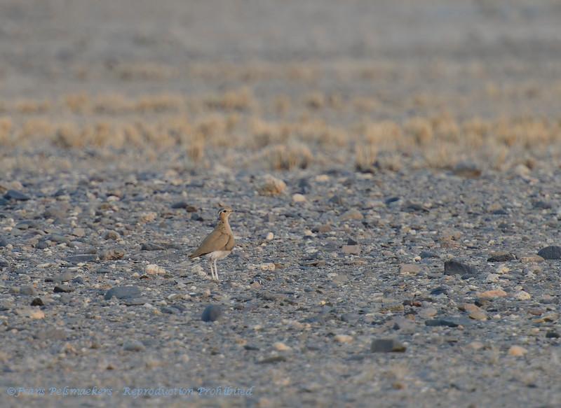 Namibië; Burchell's courser; Cursorius rufus; Rosse renvogel; Courvite de Burchell; Namib Desert