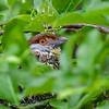 Roodbrauwpeperklauwier; Cyclarhis gujanensis; Rufousbrowed peppershrike; Sourciroux mélodieux; Rostbrauenvireo