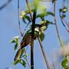 Roodstaartglansvogel; Galbula ruficauda; Rufoustailed jacamar; Jacamar à queue rousse; Roodstaartglansv