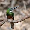 Roodstaartglansvogel; Galbula ruficauda; Rufoustailed jacamar; Jacamar à queue rousse