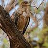 Botswana; Okavango; Tawny eagle; Aquila rapax; Roofarend; Raubadler; Aigle ravisseur; Savannearend