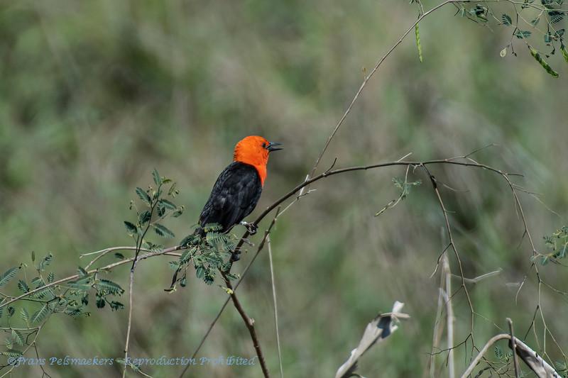 Roodkoptroepiaal; Amblyramphus holosericeus; Scarletheaded blackbird; Carouge à tête rouge