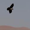 Namibië; Pied crow; Corvus albus; Schildrabe; Corbeau pie; Schildraaf; Witborskraai; Namib Desert