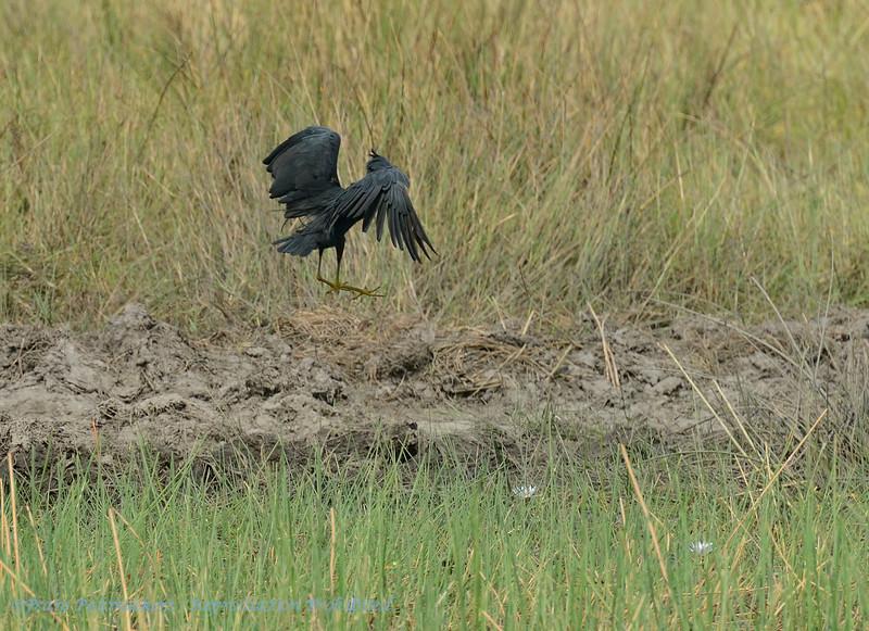 Botswana; Okavango; Slaty egret; Egretta vinaceigula; Rooikeelreier; Braunkehlreiher; Aigrette vineuse; Sharpes reiger