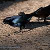 Glanskoevogel; 2019; Molothrus bonariensis; Shiny cowbird; Vacher luisant