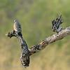 Botswana; Okavango; Emeraldspotted wood dove; Turtur chalcospilos; Groenvlekduif; Tourtelette émeraudine; Bronzeflecktäubchen; Smaragdvlekduif