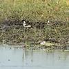 Botswana; Okavango; Blacksmith lapwing; Blacksmith plover; Vanellus armatus; Bontkiewiet; Waffenkiebitz; Vanneau armé; Smidsplevier