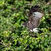 Slakkenwouw; Rostrhamus sociabilis; Snail kite; Milan des marais; Schneckenweih