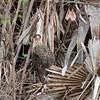 Kuifcaracara; Caracara plancus; Polyborus plancus; Southern crested caracara; Caracara huppé; Schopfkarakara