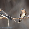 ZuidAmerikaanse ruwvleugelzwaluw; Stelgidopteryx ruficollis; Hirondelle à gorge rousse; Southern roughwinged swallow