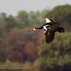 Zambië; Spurwinged goose; Plectropterus gambensis; Wildemakou; Oiearmée de Gambie; Sporngans; Spoorwiekgans; Zambia