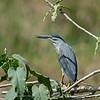 Mangrovereiger; Butorides striata; Striated heron; Héron strié; Mangrovereiher