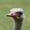 ZuidAfrika; Struisvogel; Struthio camelus; Volstruis; Ostrich; Afrikanischer Strauß; Autruche d'Afrique