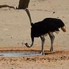 Namibië; Struisvogel; Struthio camelus; Volstruis; Ostrich; Afrikanischer Strauß; Autruche d'Afrique; Namib Desert