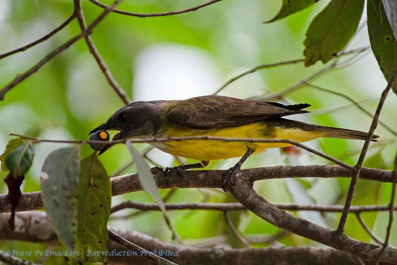 Zwaveltiran; Tyrannopsis sulphurea; Sulphury flycatcher; Tyran des palmiers