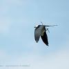 Zwaluwstaartwouw; Elanoides forficatus; Swallowtailed kite; Naucler à queue fourchue; Schwalbenweih