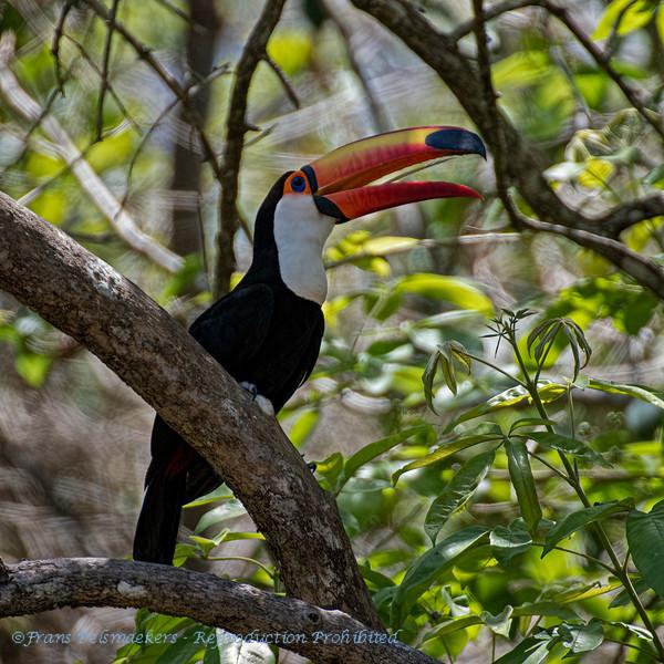 Reuzentoekan; Ramphastos toco; Toco toucan; Toucan toco; Riesentukan
