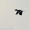 Zambië; Trumpeter hornbill; Bycanistes bucinator; Gewone boskraai; Calao trompette; Trompetneushoornvogel; Zambia